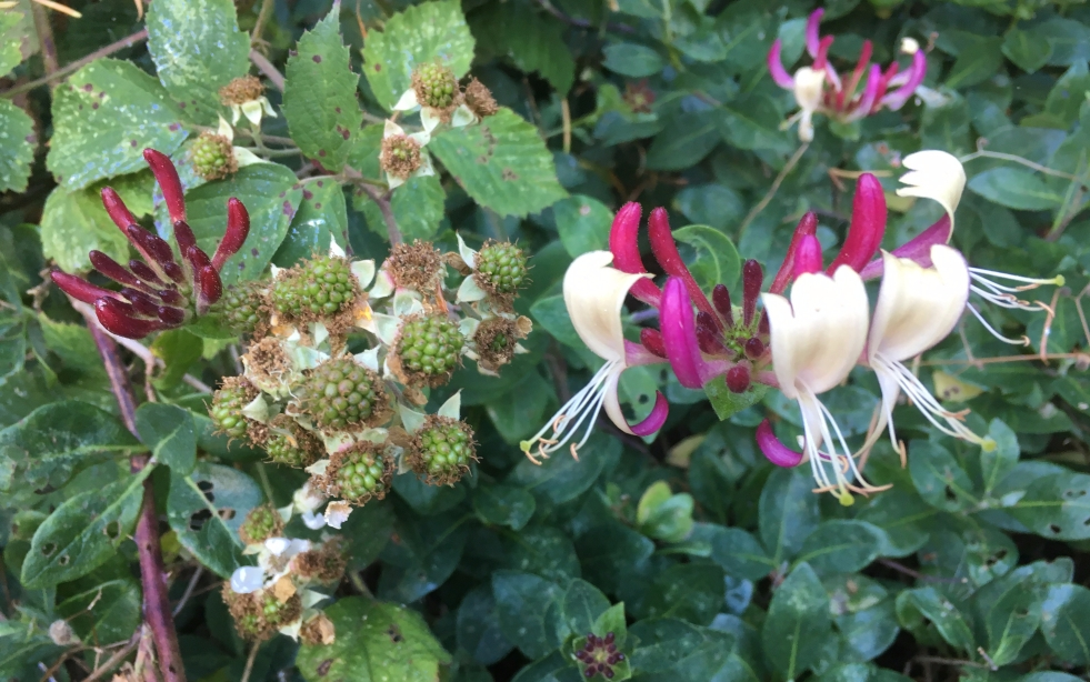 Honeysuckle blooms beside ripening brambleberries in the hedgerow