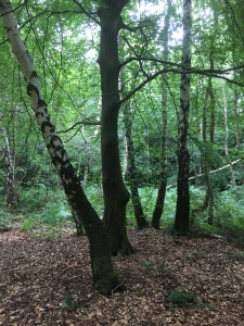 beech tree with birch trees in the woodland