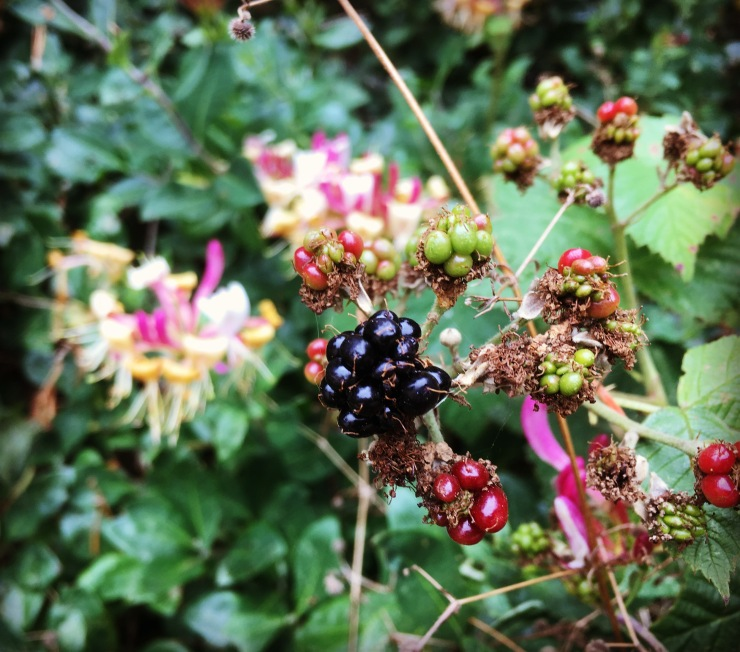 Ripening blackberries with honeysuckle flowers in background