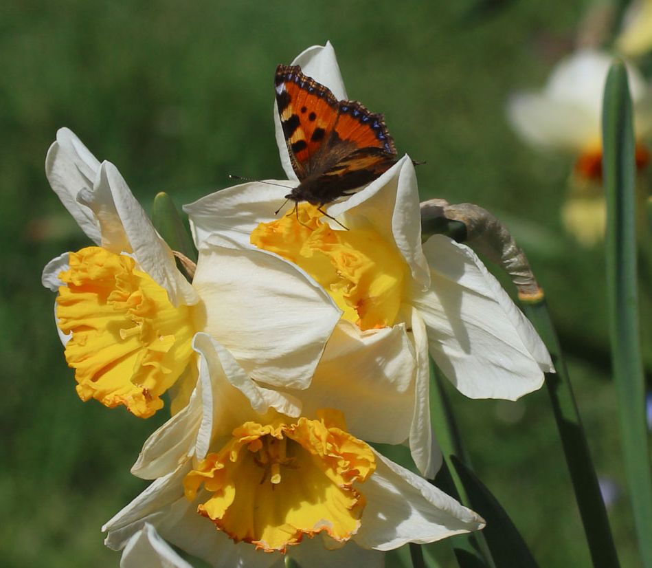Small tortoiseshell butterfly on daffodils, with white petals and yellow trumpets