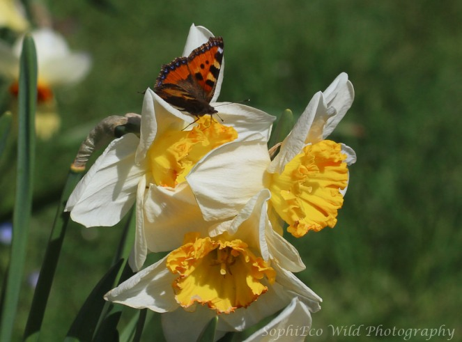 small tortoiseshell butterfly on daffodils with white petals and yellow trumpets on a background of gree grass