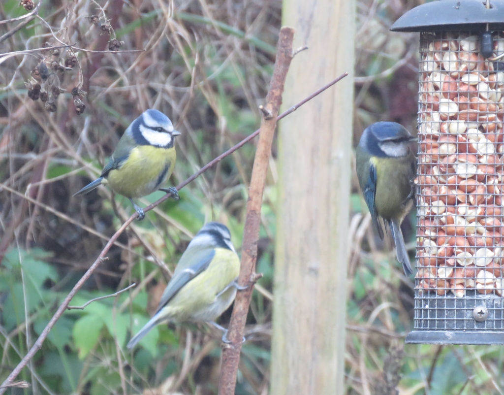 three blue tits, two of which are perched in undergrowth on the left, waiting their turn on the peanut feeder, where the third bird clings and feeders, on the right hand edge of the picture